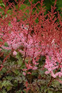 ASTILBE HYBRIDA 'DELFT LACE' 2/3 EYE (25 P.BAG)