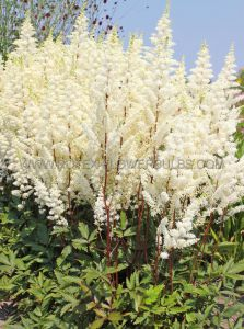 ASTILBE HYBRIDA 'HAPPY SPIRIT' 2/3 EYE (25 P.BAG)