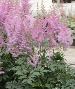 ASTILBE HYBRIDA 'NEMO' 2/3 EYE (25 P.BAG)