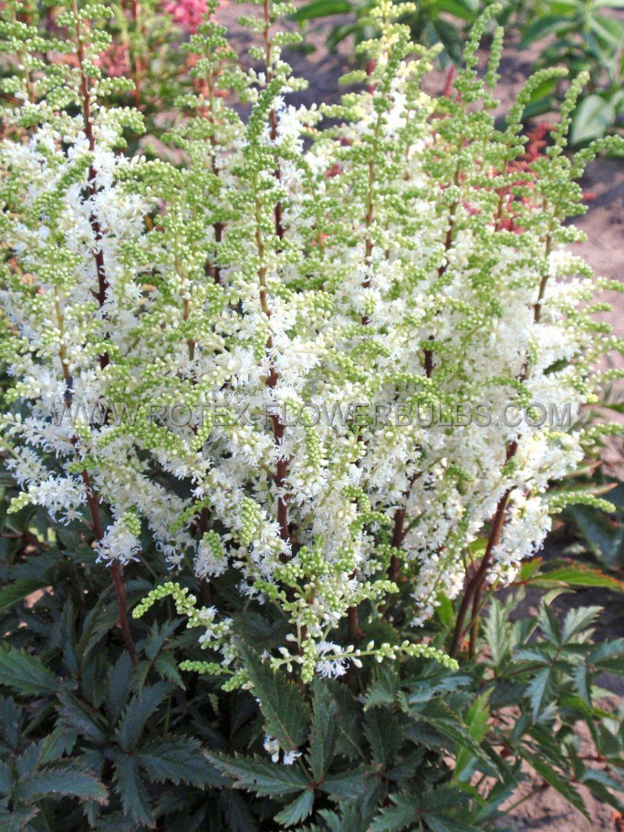 astilbe hybrida whiteberry 23 eye 25 pbag