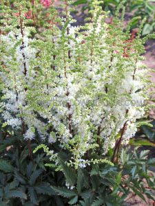 ASTILBE HYBRIDA 'WHITEBERRY' 2/3 EYE (25 P.BAG)