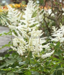 ASTILBE JAPONICA 'DEUTSCHLAND' 2/3 EYE (25 P.OPEN TOP BOX)