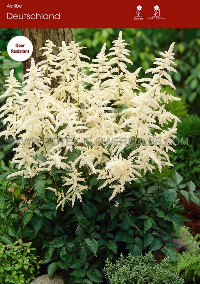 astilbe japonica deutschland 23 eye 25 popen top box