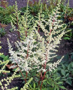 ASTILBE JAPONICA 'ELLIE' 2/3 EYE (25 P.BAG)