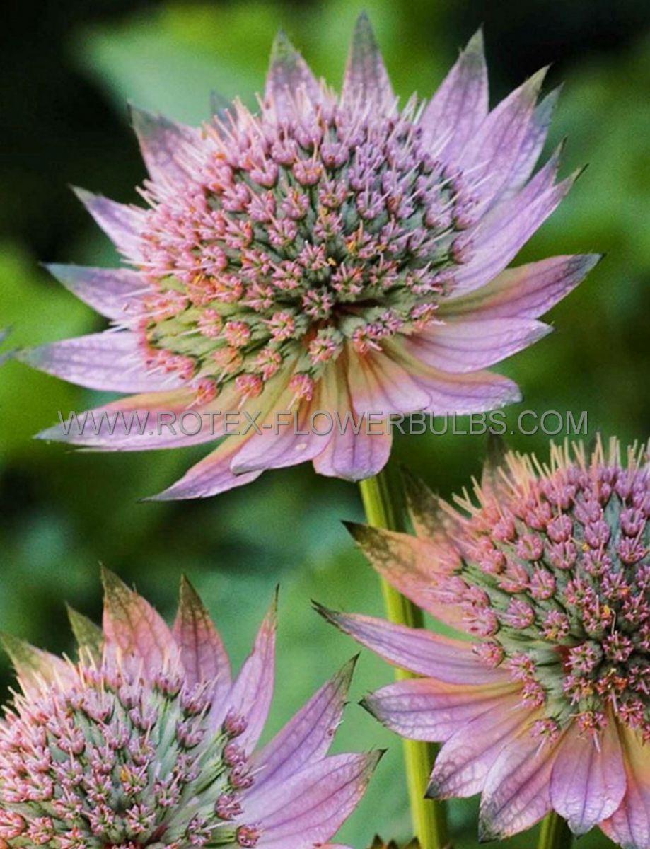 astrantia masterwort major florence i 25 pbag