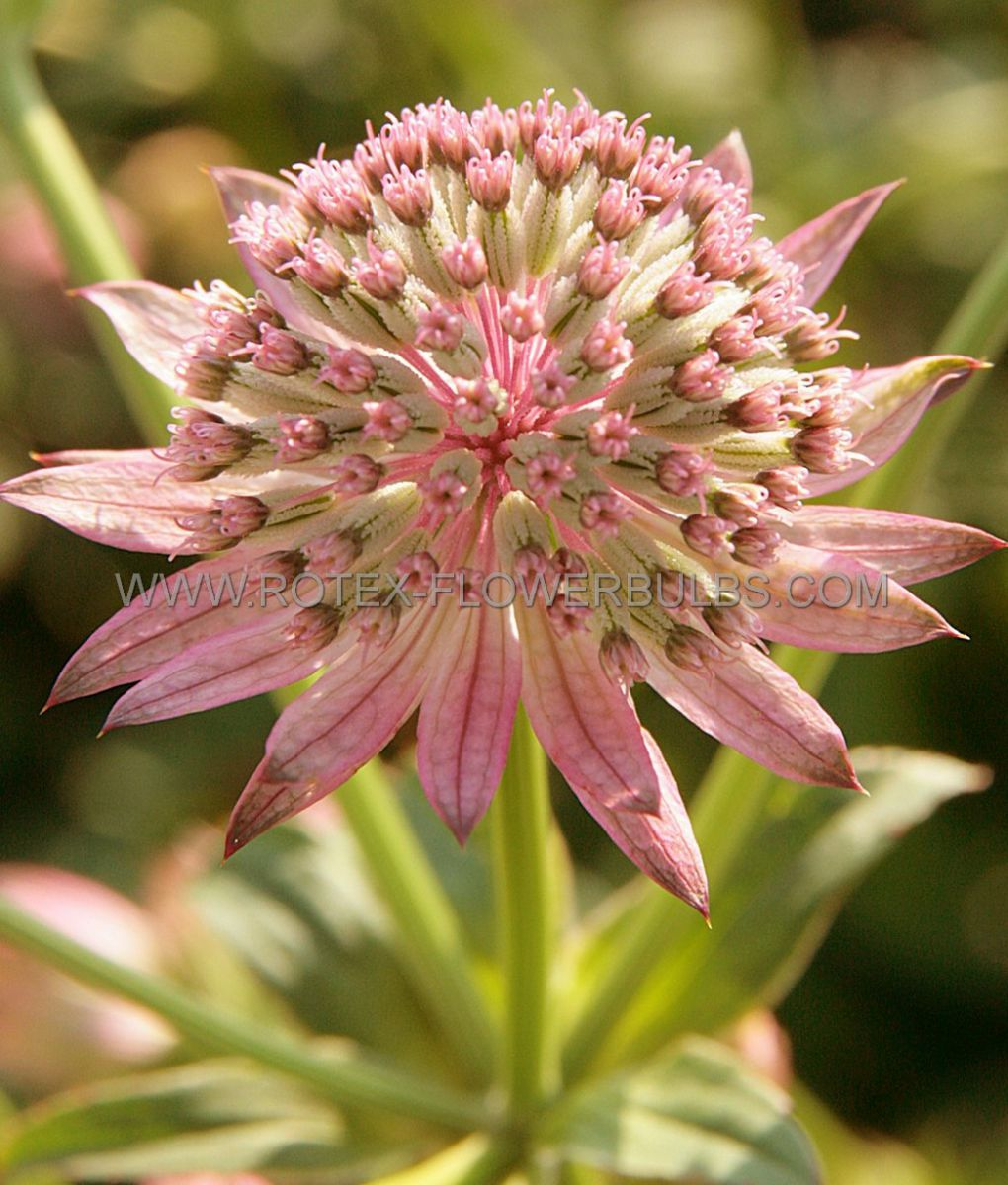 astrantia masterwort major pink pride i 25 pbag