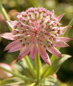 ASTRANTIA (MASTERWORT) MAJOR 'PINK PRIDE' I (25 P.BAG)