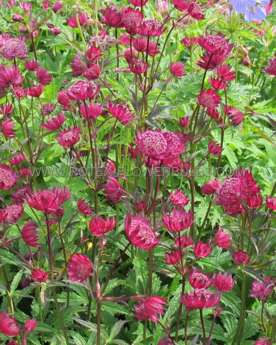 astrantia masterwort major sparkling star red i 25 pbag