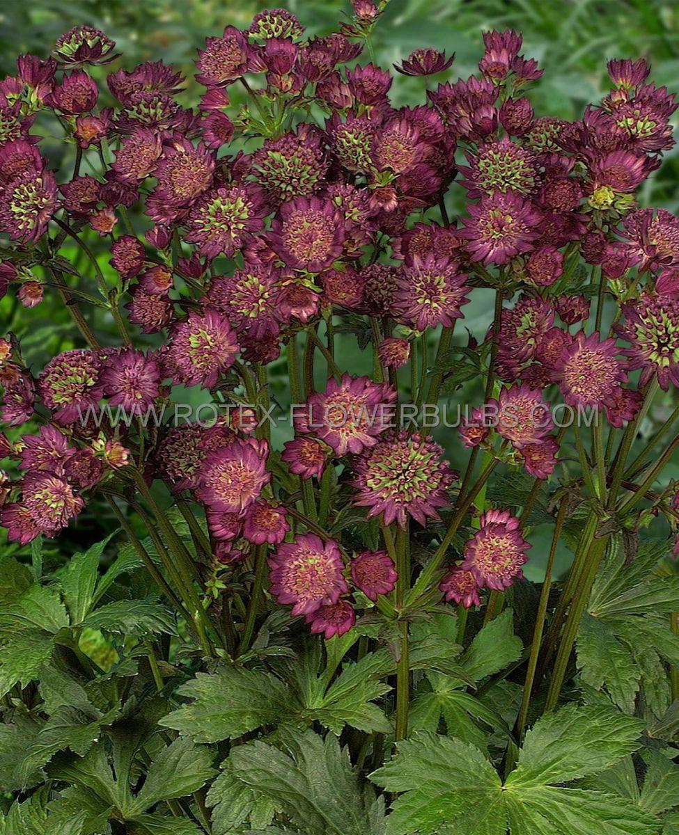 astrantia masterwort major star of beauty i 25 pbag