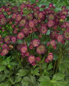 ASTRANTIA (MASTERWORT) MAJOR 'STAR OF BEAUTY' I (25 P.BAG)