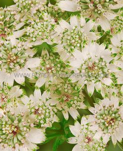 ASTRANTIA (MASTERWORT) MAJOR 'STAR OF BILLION' I (25 P.BAG)