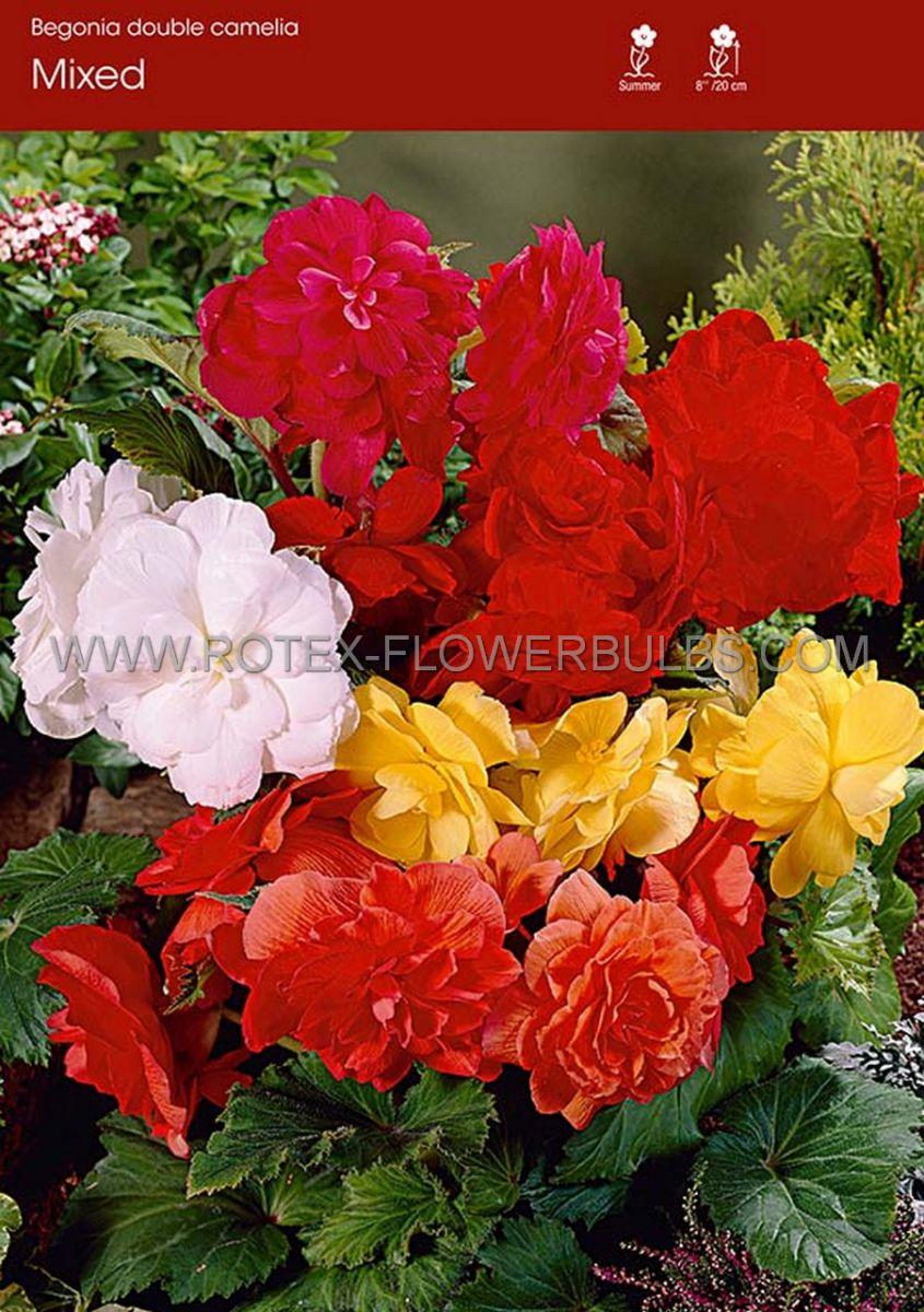 begonia double camelia mix 6 cm 25 pbinbox