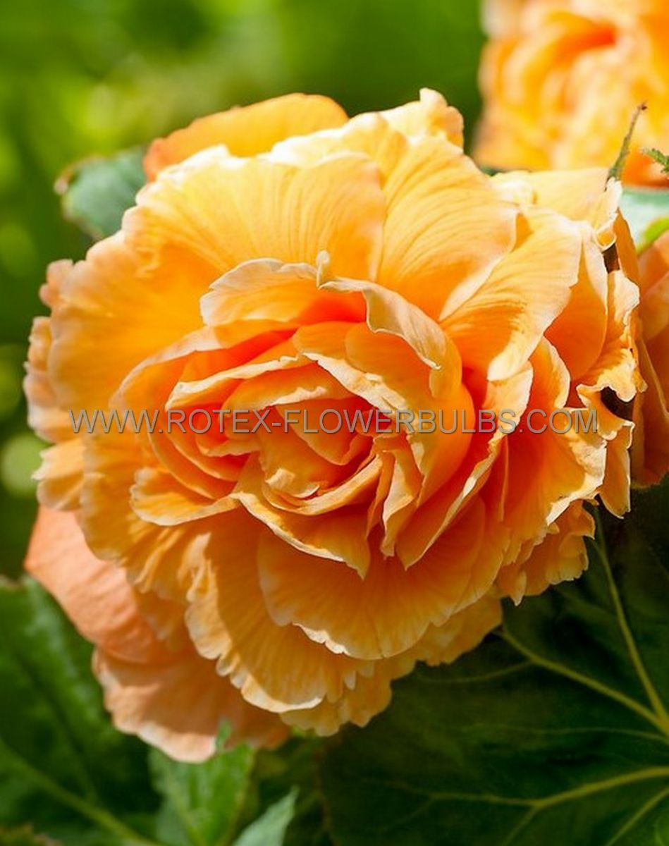 begonia double camelia orange 6 cm 25 pbinbox