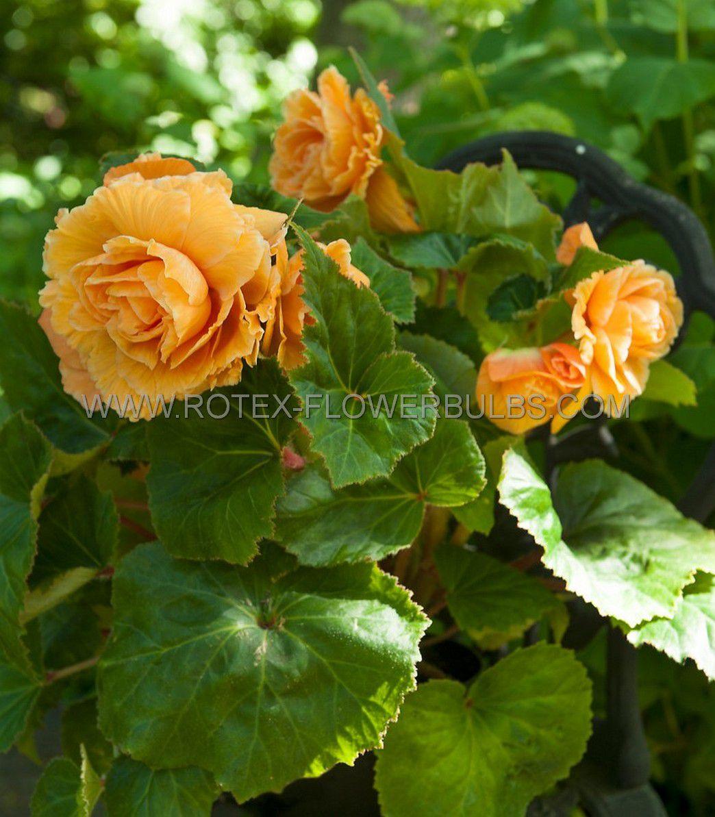 begonia double camelia orange 6 cm 25 pbinbox