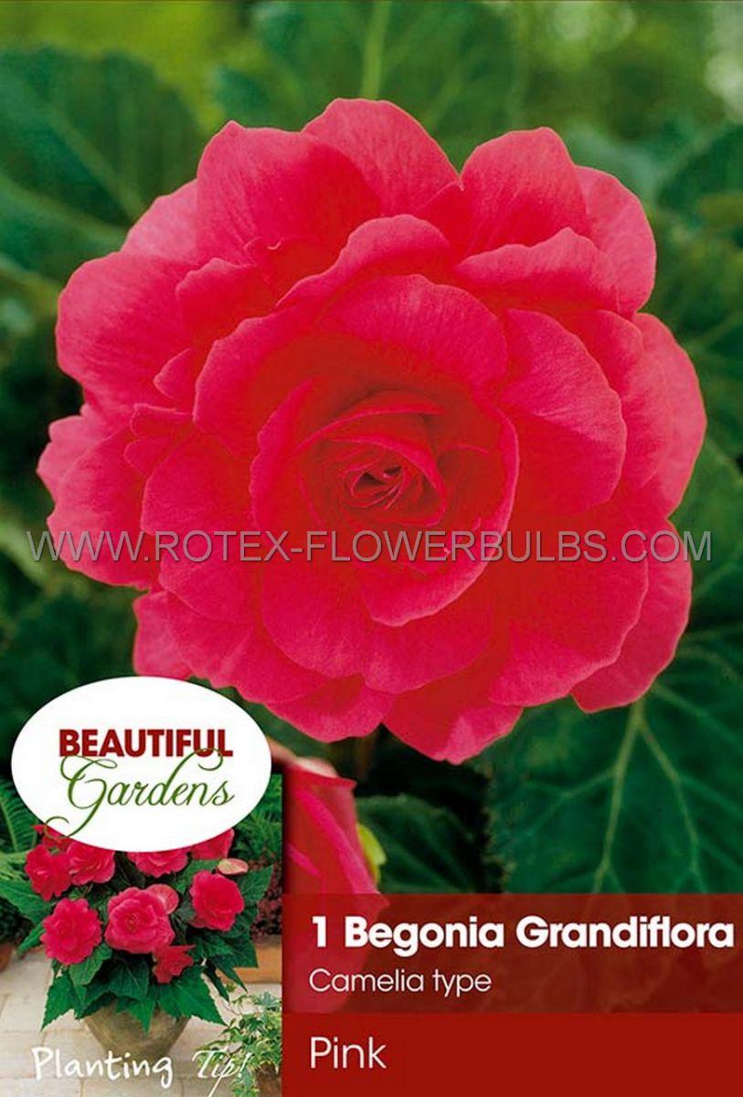 begonia double camelia pink 6 cm 15 pkgsx 1