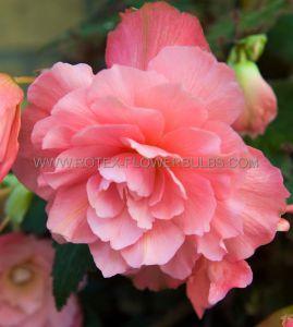 BEGONIA DOUBLE CAMELIA 'PINK' 6/+ CM. (25 P.BINBOX)