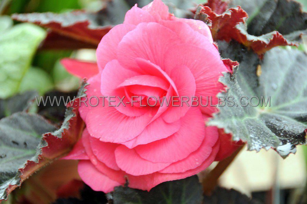begonia double camelia pink 6 cm 25 pbinbox