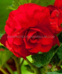 BEGONIA DOUBLE CAMELIA 'RED' 6/+ CM. (15 PKGS.X 1)