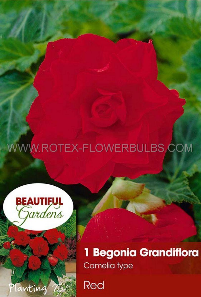 begonia double camelia red 6 cm 15 pkgsx 1