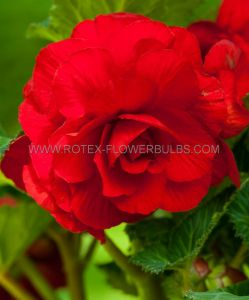 BEGONIA DOUBLE CAMELIA 'RED' 6/+ CM. (25 P.BINBOX)