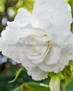 BEGONIA DOUBLE CAMELIA 'WHITE' 6/+ CM. (15 PKGS.X 1)