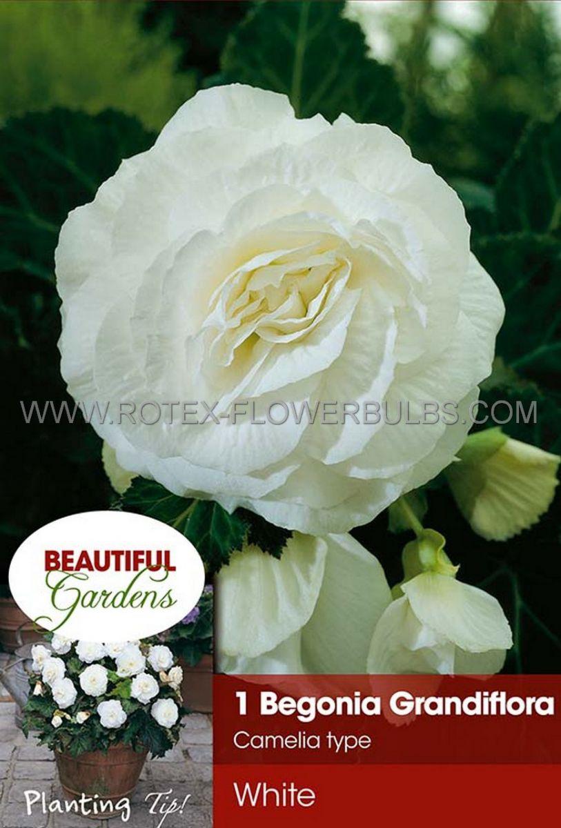 begonia double camelia white 6 cm 15 pkgsx 1