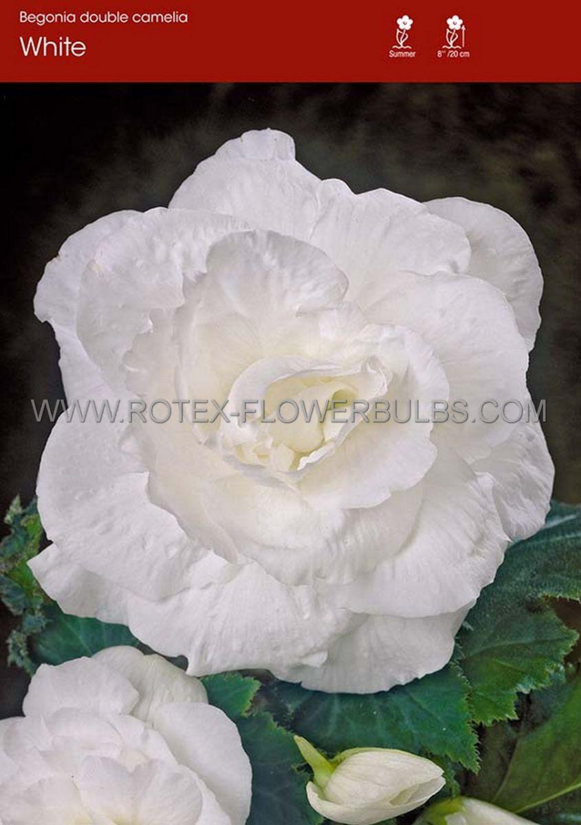 begonia double camelia white 6 cm 25 pbinbox