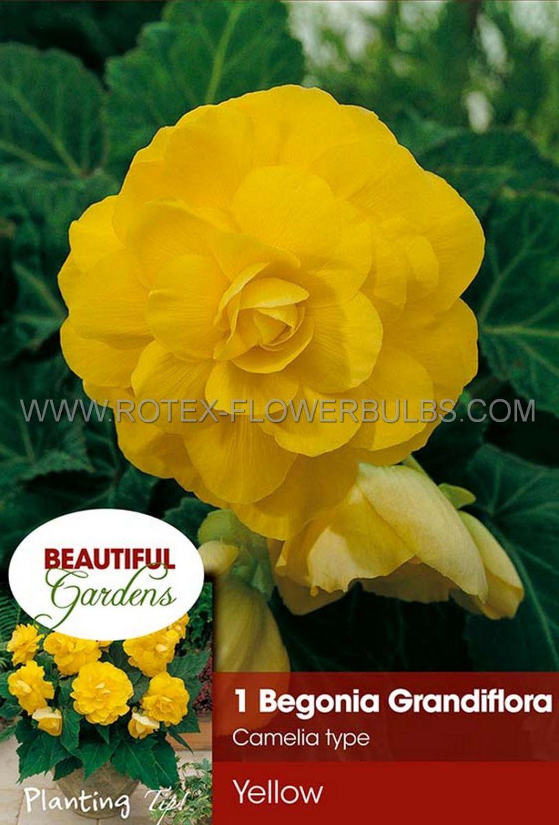 begonia double camelia yellow 6 cm 15 pkgsx 1