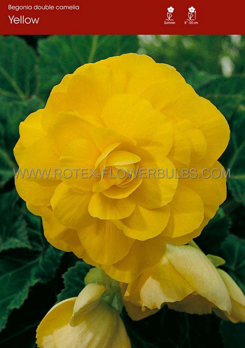 begonia double camelia yellow 6 cm 25 pbinbox