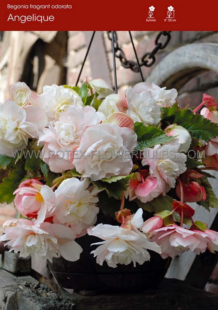 begonia fragrant hanging basket odorata angelique 6 cm 25 pbinbox