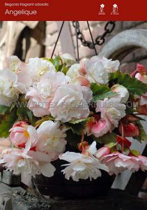 BEGONIA FRAGRANT HANGING BASKET ODORATA 'ANGELIQUE' 6/+ CM. (15 PKGS.X 1)