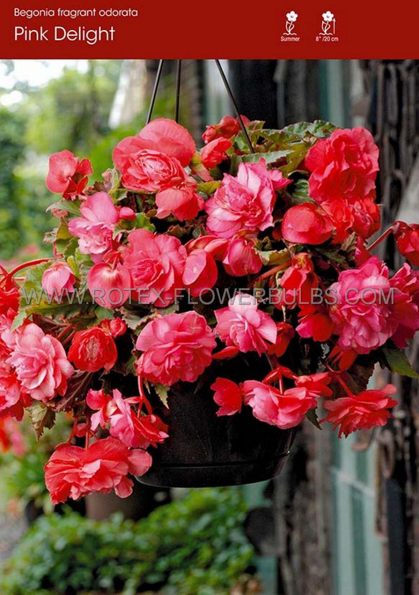 begonia fragrant hanging basket odorata pink delight 6 cm 25 pbinbox