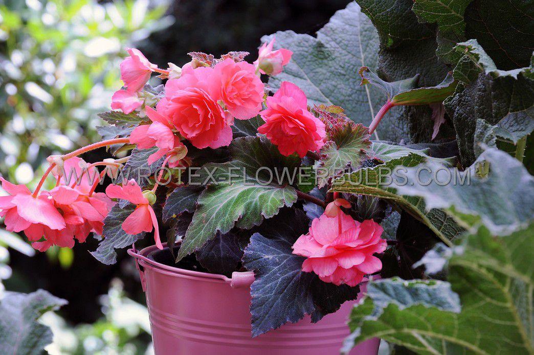 begonia fragrant hanging basket odorata pink delight 6 cm 15 pkgsx 1