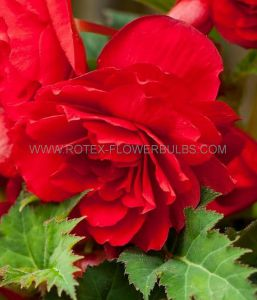BEGONIA FRAGRANT HANGING BASKET ODORATA 'RED GLORY' 6/+ CM. (25 P.BINBOX)
