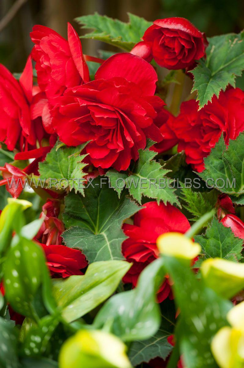 begonia fragrant hanging basket odorata red glory 6 cm 25 pbinbox
