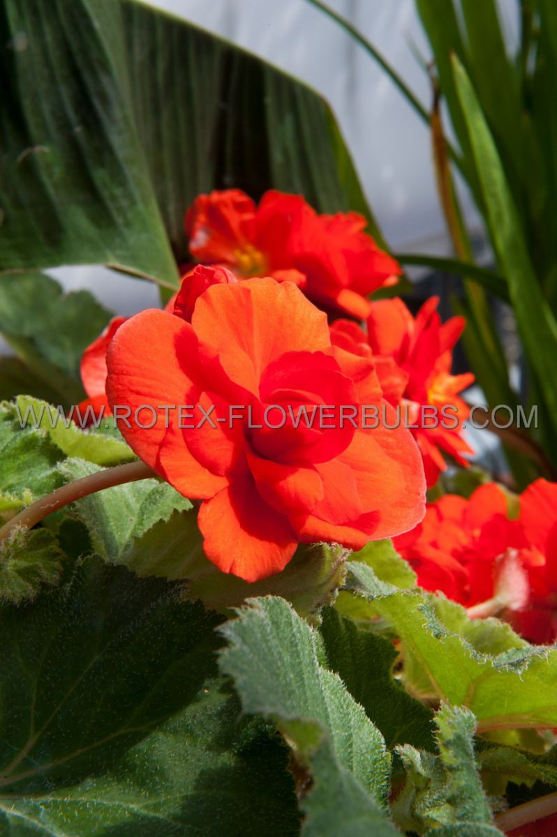 begonia fragrant hanging basket odorata red glory 6 cm 25 pbinbox