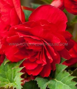 BEGONIA FRAGRANT HANGING BASKET ODORATA 'RED GLORY' 6/+ CM. (15 PKGS.X 1)