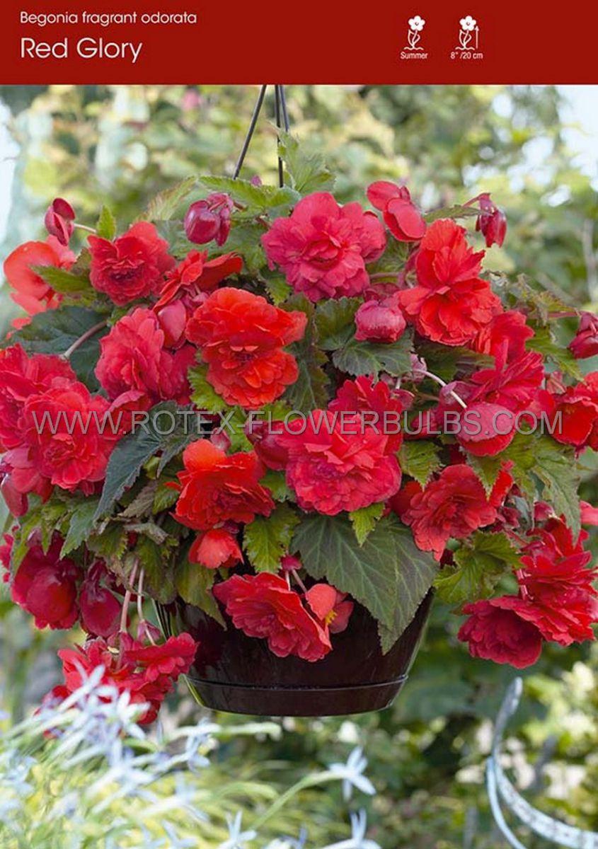 begonia fragrant hanging basket odorata red glory 6 cm 15 pkgsx 1
