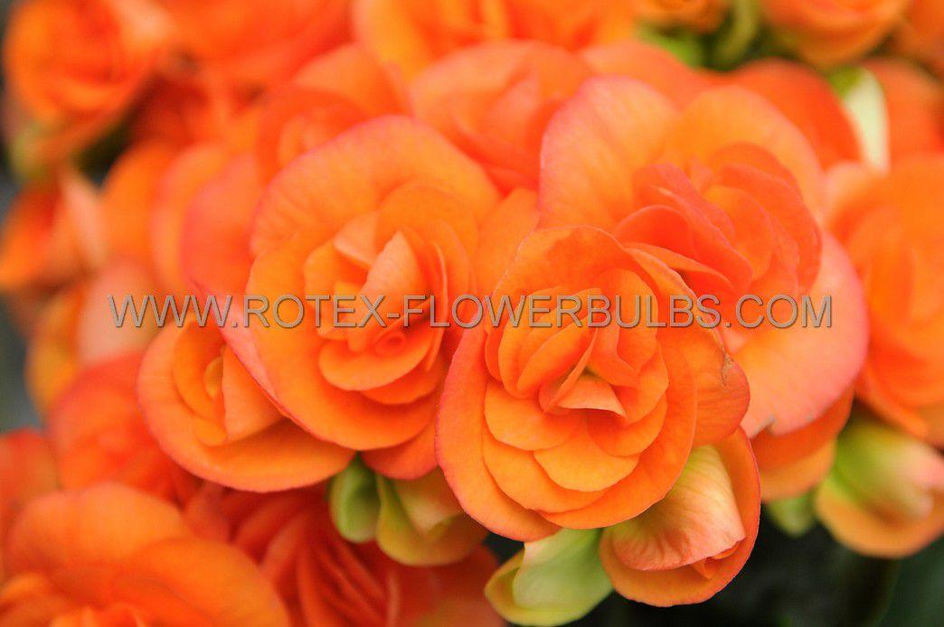 begonia non stop copper 6 cm 25 pbinbox