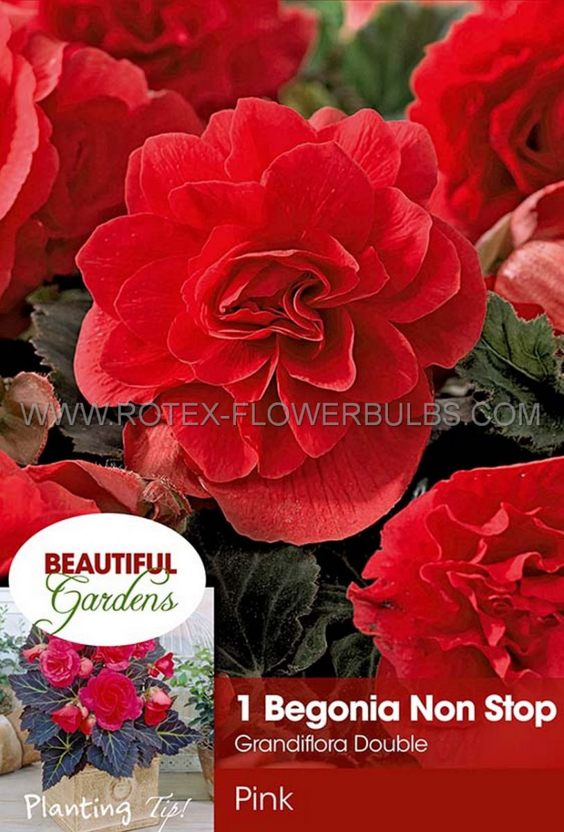 begonia non stop pink 6 cm 15 pkgsx 1