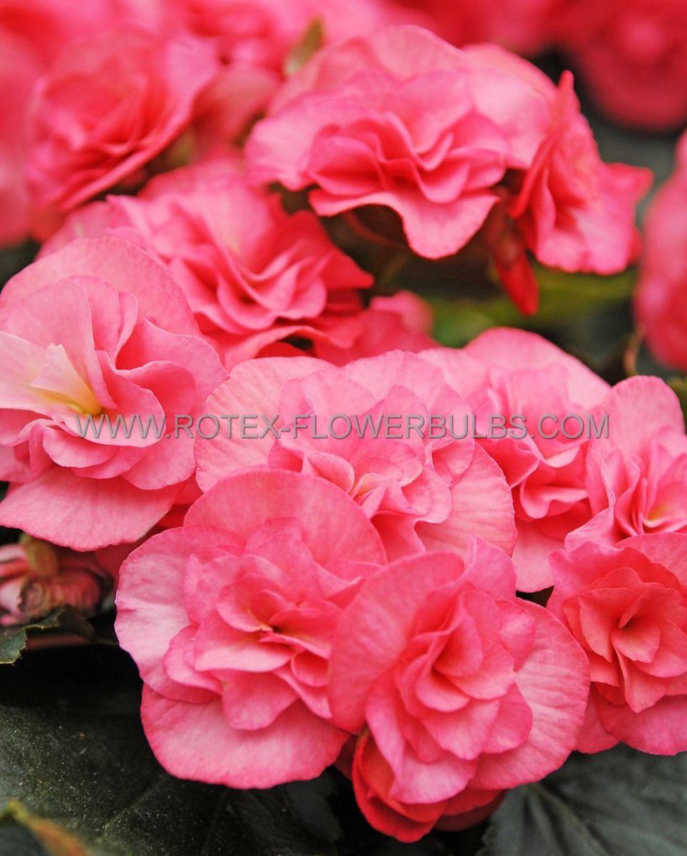 begonia non stop pink 6 cm 25 pbinbox