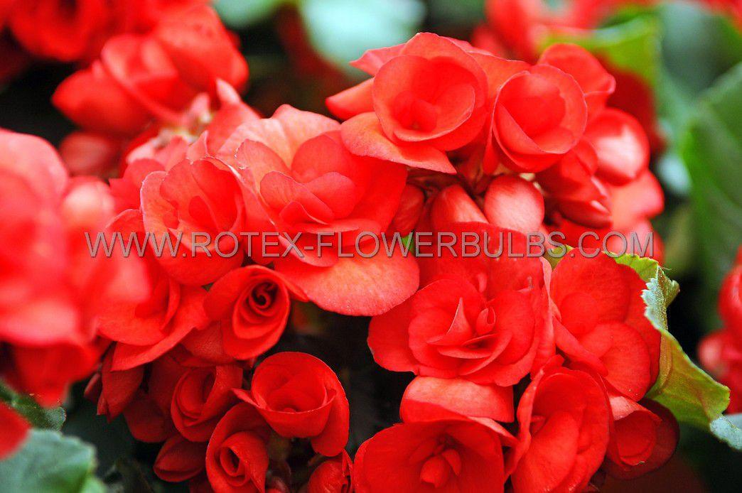 begonia non stop red 6 cm 15 pkgsx 1