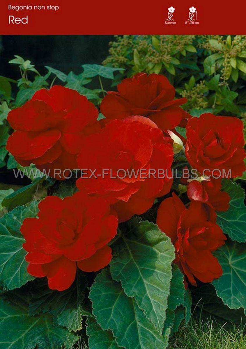 begonia non stop red 6 cm 25 pbinbox