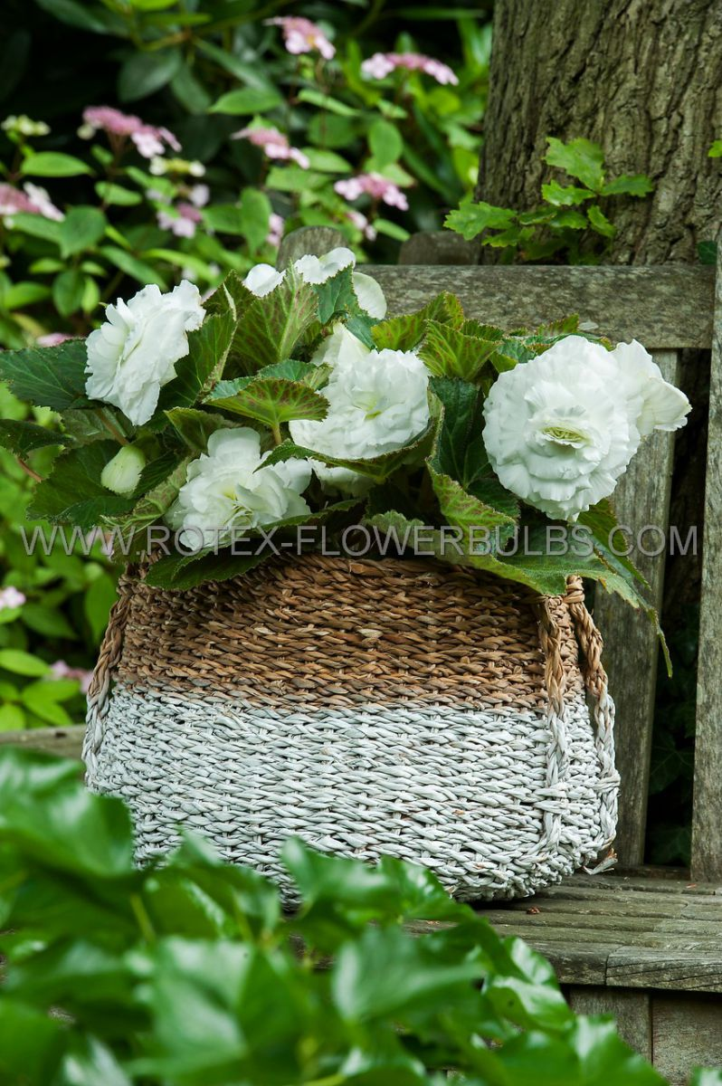 begonia non stop white 6 cm 15 pkgsx 1