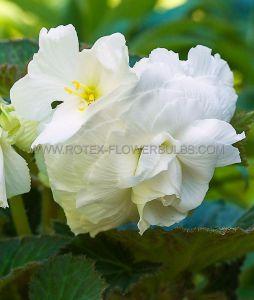 BEGONIA NON STOP 'WHITE' 6/+ CM. (25 P.BINBOX)