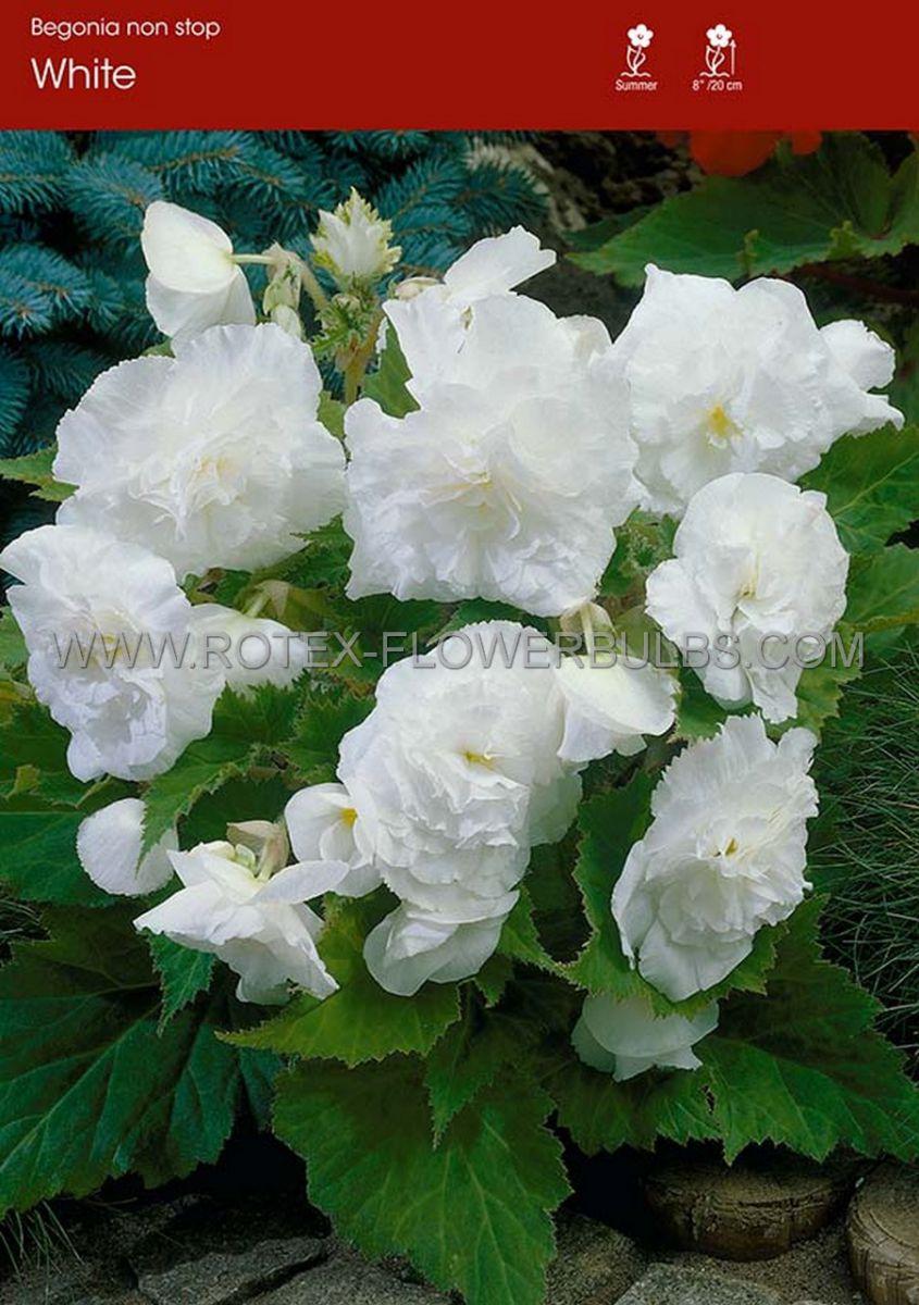 begonia non stop white 6 cm 25 pbinbox