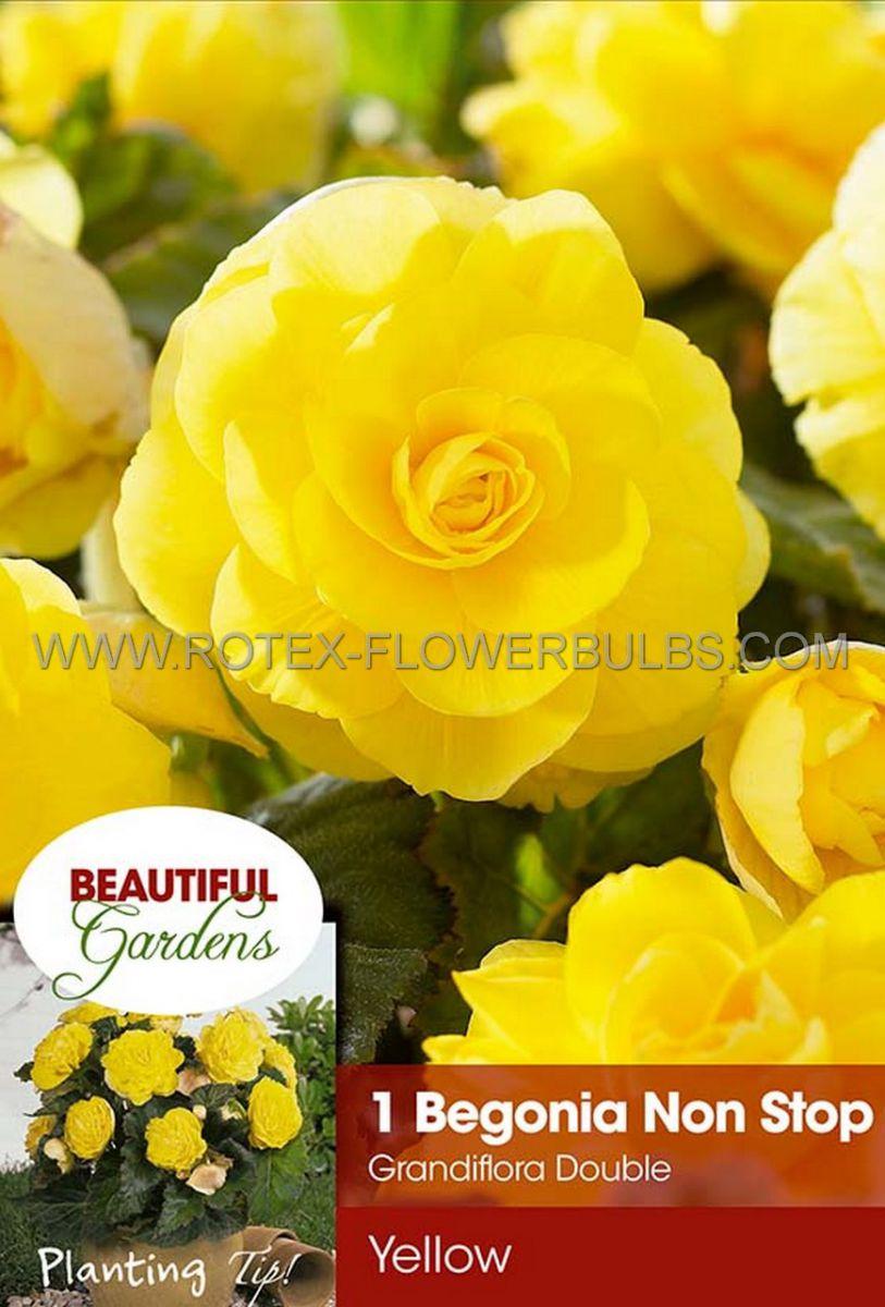 begonia non stop yellow 6 cm 15 pkgsx 1