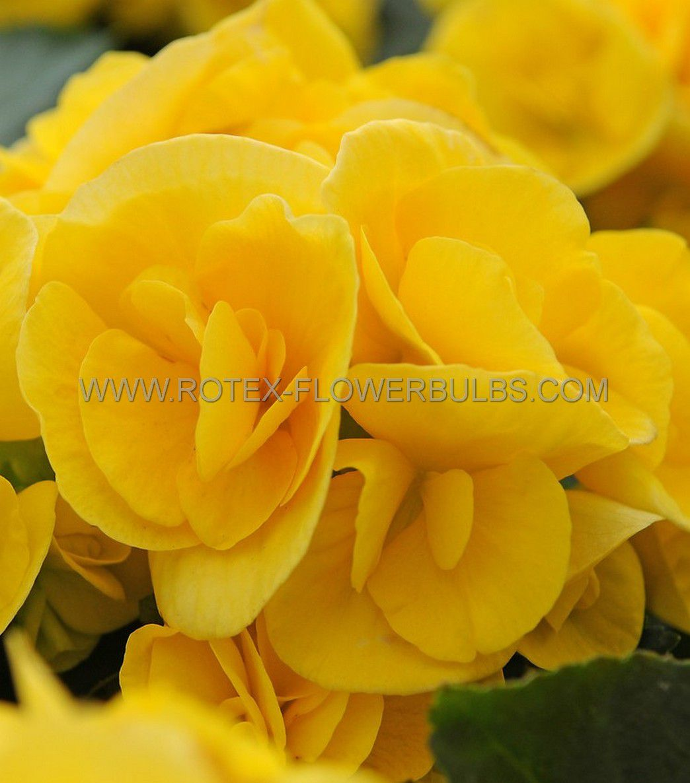 begonia non stop yellow 6 cm 25 pbinbox