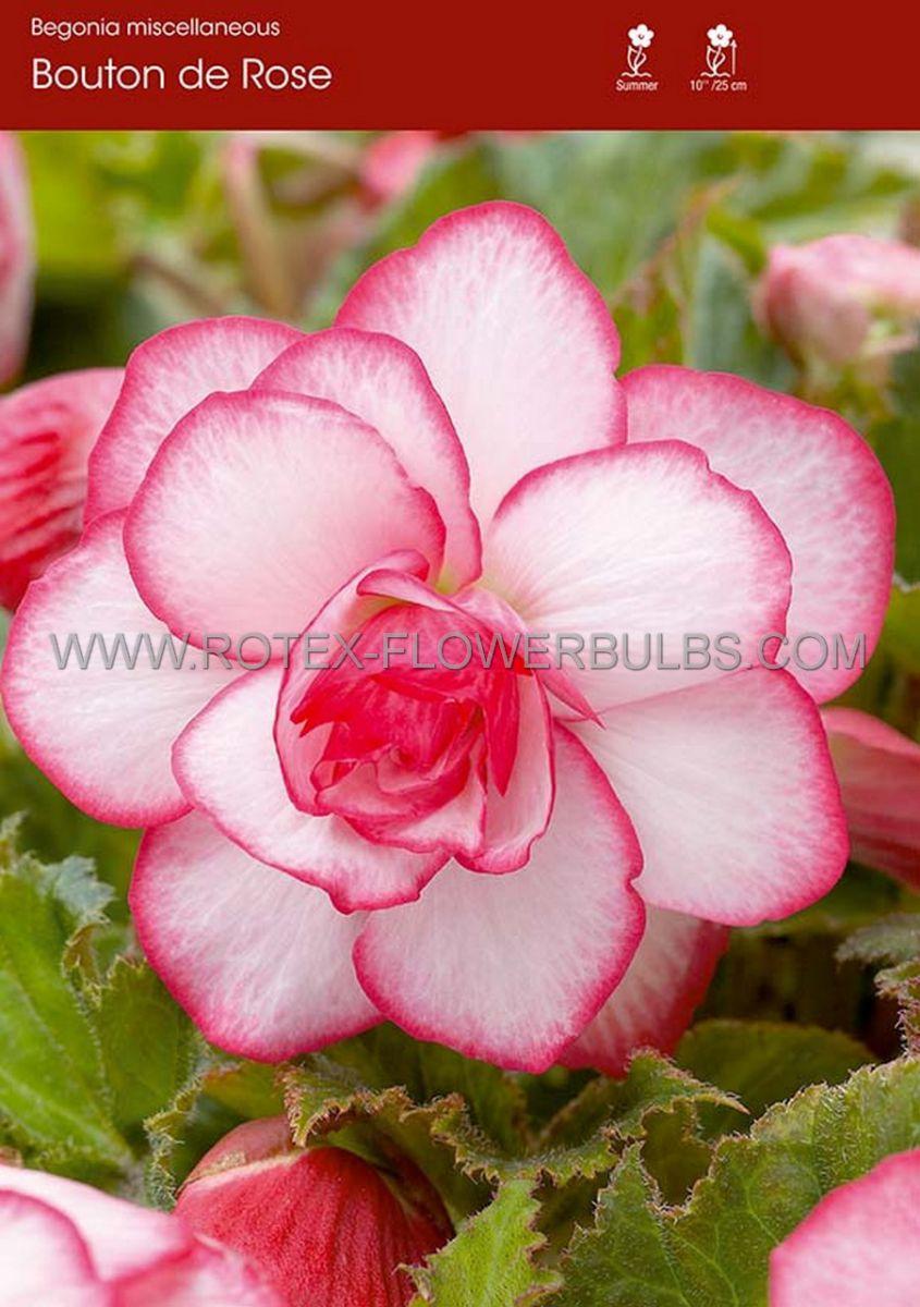 begonia novelty bouton de rose 6 cm 25 pbinbox