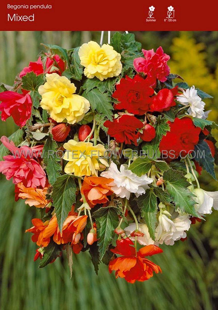 begonia pendula mix 6 cm 25 pbinbox
